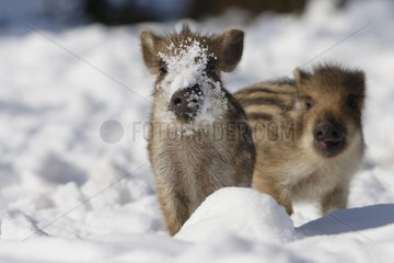 Wild Piglets on snow Schleswig-Holstein Germany