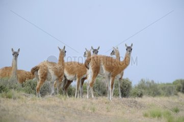 Guanacos in the steppe - Argentina