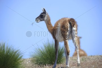 Guanaco in the steppe eating - Argentina