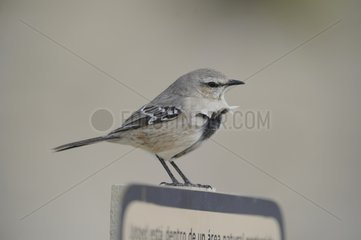 Patagonian Mockingbird on a pannel - Argentina