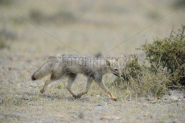 South American Grey Fox walking - Argentina