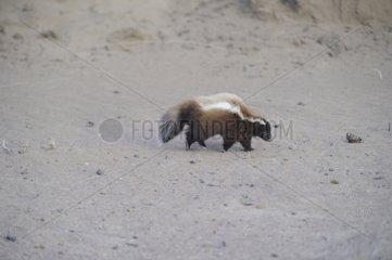 Humboldt's hog-nosed skunk - Patagonia Argentina