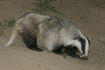 Eurasian badger smelling the ground