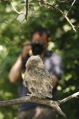 Young long-eared owl on a branch and photographe