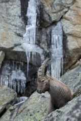 Young male Alpine Ibex in winter and ice - Italy Alps