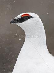 Portrait of Ptarmigan (Lagopus muta) male in winter  Scotland