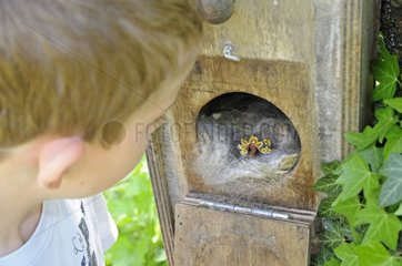 Boy visiting a nest box occupied by a tit France