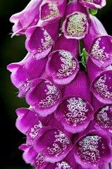 Purple foxglove in bloom in Catalonia - Spain