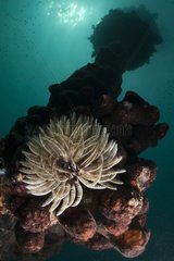 Feather duster worm on reef - New Caledonia