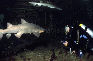 Requins taureaux nageant dans une épave et plongeur USA