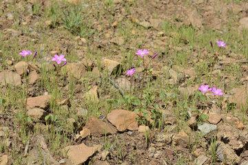Shamrock (Oxalis rosea)  Oxalidaceae endemic to Chile  Parque nacional La Campana  V Region of Valparaiso  Chile