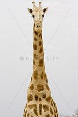 Nigearian Giraffe in savanna Niger