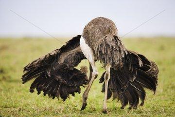 Ostriche female displaying in savana Maasai Mara Kenya