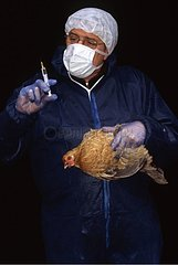 Vaccination of a hen against the avian flu France