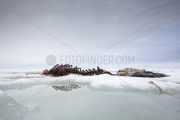 Skeleton of harbor (or harbour) seal (Phoca vitulina)  also known as the common seal on the ice  Spitsbergen  Svalbard  Norwegian archipelago  Norway  Arctic Ocean