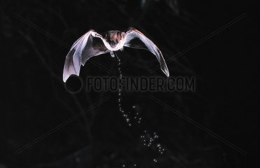 Jamaican Fruit-eating Bat urinating in flight Guadeloupe