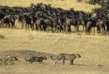 Femelle Léopard et son jeune devant un troupeau de gnous