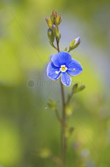 Germander speedwell (Veronica chamaedrys) on the low side of a country road  Bocage bourbonnais  Allier  Auvergne  France