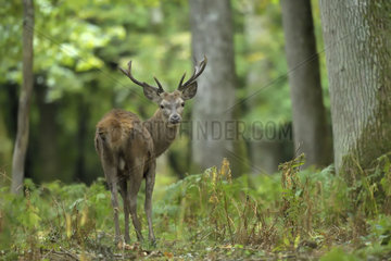 Red Deer (Cervus elaphus) young male in undergrowth  Boutissaint Forest  Burgundy  France