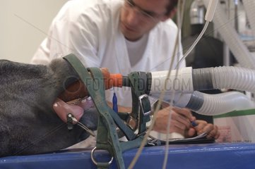 Equine anaesthetist veterinarian supervising the horse