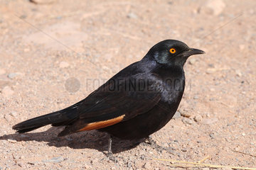 Pale-winged Starling (Onychognathus nabouroup) adult on ground observing  Namibia