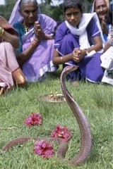 Worship of the snake at the time of the festival of the cobra