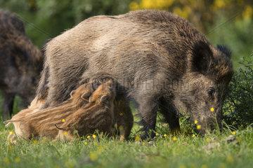 Wild boar (Sus scrofa) sow suckling her piglets   Ardennes  Belgium