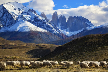 Flock of sheep in front of the Cuernos Massif  Torres del Pain National Park  Patagonia  Chile
