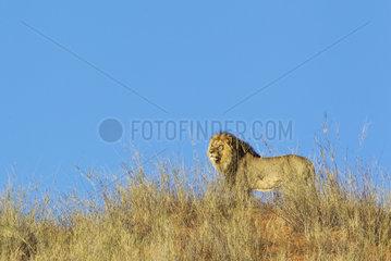 Lion (Panthera leo). Black-maned Kalahari male on a grass-grown sand dune. Kalahari Desert  Kgalagadi Transfrontier Park  South Africa.