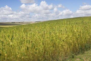 Field of Marijuana France
