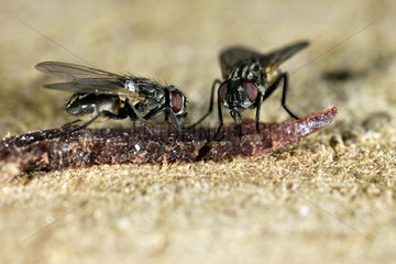 House flies (Musca domestica) eating a crumb of ham on the kitchen table in a farm  Meyrueis  Lozere  France