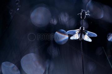 Owlfly (Ascalaphidae sp) on a stem against backlight at dusk  France