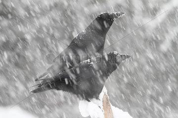 Common Ravens (Corvus corax) under a shower of snow  Ardennes