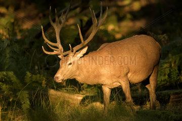 Red Deer (Cervus elaphus) male at sunset  Boutissaint Forest  Burgundy  France