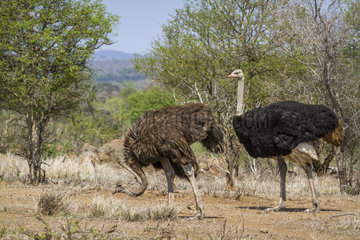 African Ostrich (Struthio camelus) couple in Kruger National park  South Africa