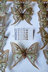 Scientific studies on butterfly Spanish moon moth (Graellsia isabellae)  The Ports Natural Park  Terres de L'Ebre  Tarragona  Catalonia  Spain  Europe