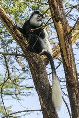 Guereza (Colobus guereza)  male in yellow fever acacia (Acacia xanthophloea)  Lake Naivasha  Kenya