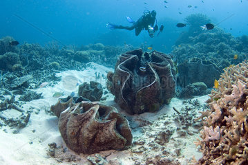 Diver and Giant Clams field (Tridacnidae sp)  Australia  South Pacific.