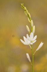 Floral arm of a Saint Bernard's Lily (Anthericum liliago) on a mountain pass after a spring rain in June  Drome  France