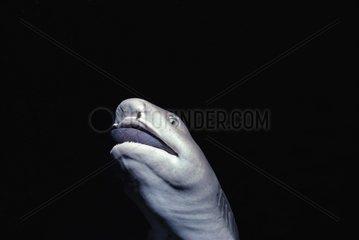 Whitetip Reef Shark eats a surgeonfish