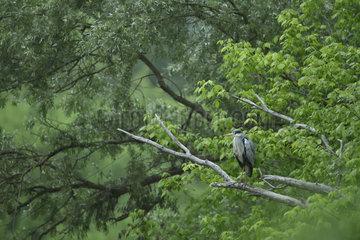 Grey Heron (Ardea cinerea) on a dead tree overlooking a secondary arm of the Loire river  Loire Valley  Burgundy  France