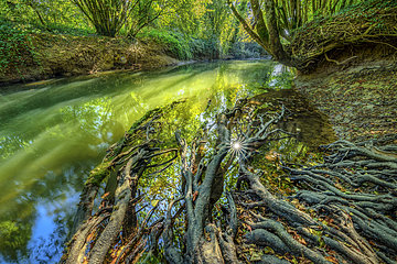 Roots of an alder on the banks of Cheran in autumn  Nature Reserve of the Marsh of Lavours  Bugey  Ain  France
