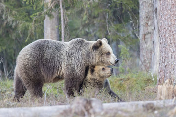 Brown bear (Ursus arctos) and cub one year old in forest  Finland