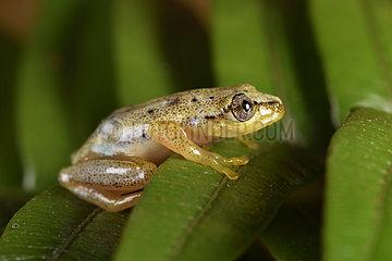 Spotted Madagascar Reed Frog (Heterixalus punctatus) with its daytime colors  Andasibe  Perinet  Alaotra-Mangoro Region  Madagascar