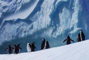 Chinstrap penguin (Pygoscelis antarcticus) and Gentoo penguin (Pygoscelis papua). Antarctic Peninsula.