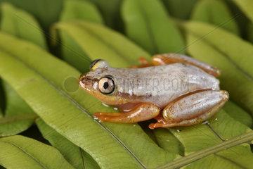 Madagascar Reed Frog (Heterixalus madagascariensis) with its daytime colors  Andasibe  Perinet  Alaotra-Mangoro Region  Madagascar