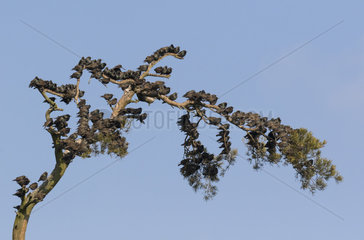 Starling (Sturnus vulagaris) perched on a Scott pine  England