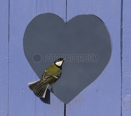 Great Tit (Parus major) perched in a heart shape hole  England