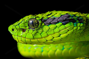 Portrait of Yellow-blotched palm-pitviper (Bothriechis aurifer) on lblack background