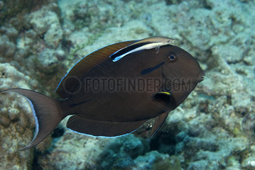 Surgeonfish and Cleaner Wrasse